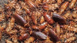 Cockroach Pest Control Services in Bangladesh