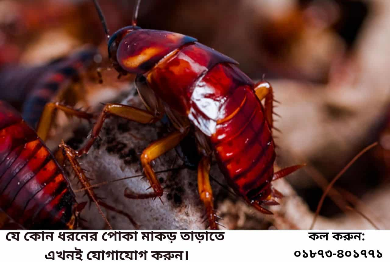 Cockroach Control Service in Dhaka